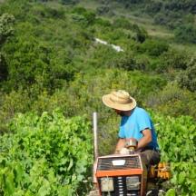 Labour des vieilles vignes